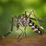 Aedes-Albopictus Mosquito-Tigre